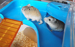 Bubble and Squeak, 2 hamsters staying with Cath while their owners where on holiday