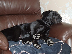 Pet sitting Liverpool, Esme having a snooze in her own chair after a bracing walk in the park